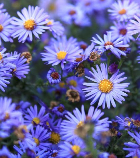 Asters Summer Wedding Flower