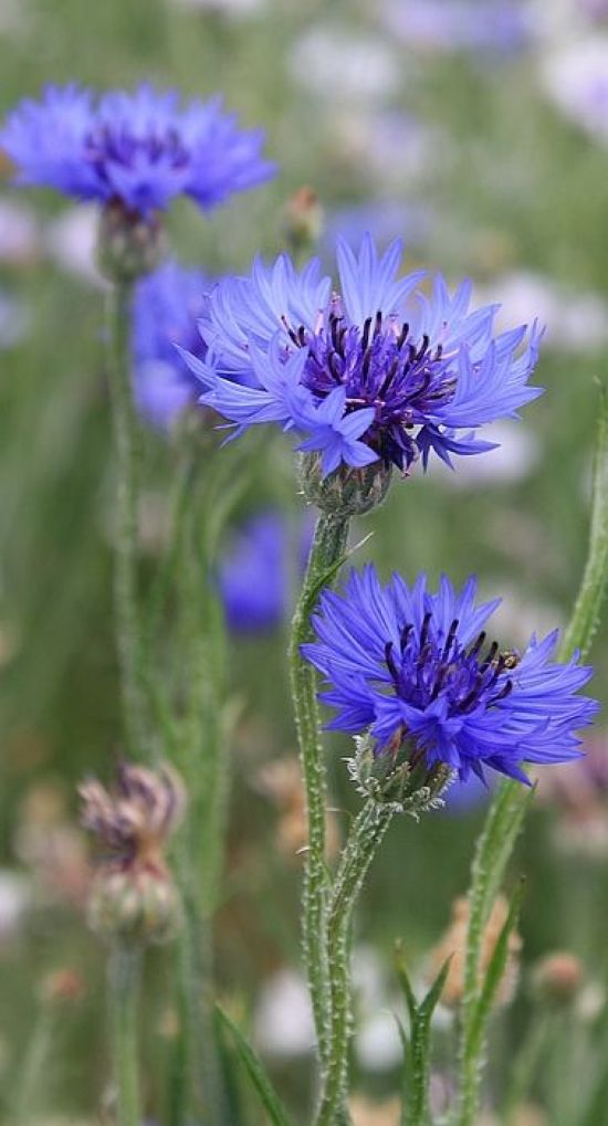 Cornflower Summer Wedding Flower