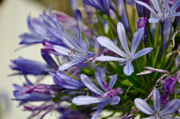 Agapanthus Summer Wedding Flower